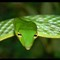 Arrowhead Green Vine Viper
