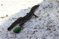 Patient lizard
