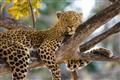 Leopard, Xakanaxa Botswana