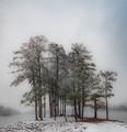 Georgia Pines by the lake in snow