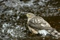 Bathing Hawk