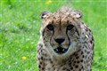 cheetaah