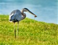 Blue heron nabs a mouse!