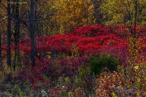Fall colors, mostly sumac