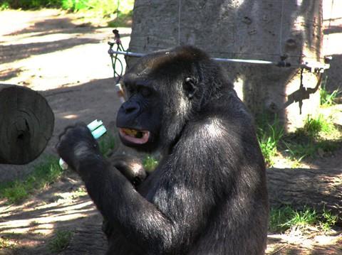 gorillasFeedingTimePB043820CurvesSaturationSmall