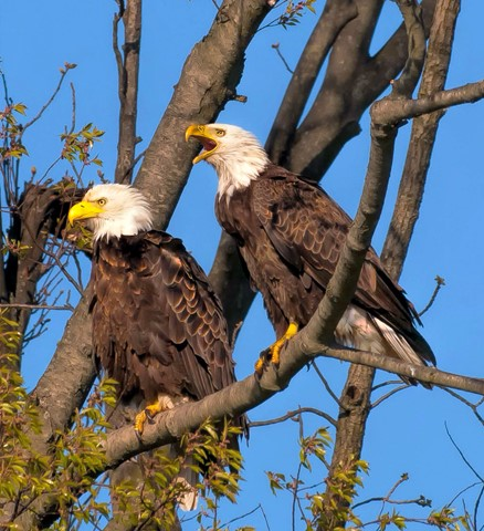 Pair of Mating Eagles in PA