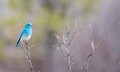 mountain bluebird - Idaho