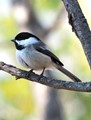 Black-capped Chickadee with Colorful Bokeh Background