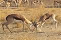 Springbok games