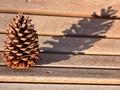 Pine cone in the sun