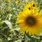 SunFlower in Grabow
