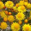 Helichrysum - West Australia