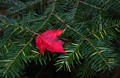 Red on green pine