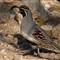 quail_3557