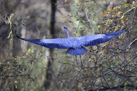 Blue Heron (1)