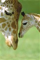 young giraffe with adult