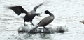 Cormorant menacing another cormorant