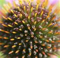 Echinacea purpurea The King