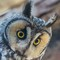 Long-eared Owl-10