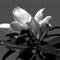 P1360094 southern magnolia