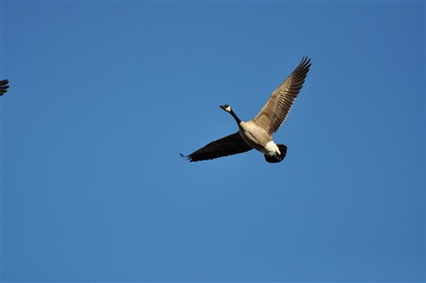 Goose Today