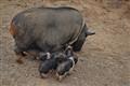 Pigslets