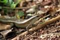 Lost Lizard