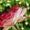 5-28 Roses-8-Resizer-1080Q100M