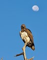 Martial Eagle - early morning in the Savuti Wildlife reserve - Botswana.