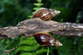 Twin Snails