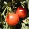 tomatomacro