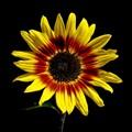 Sunflower against totally black background