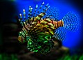 Simba -the lion fish
