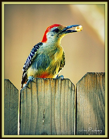 redbellied woodpecker on my back fence dallas