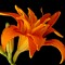 Tiger Lily - Triple Bloom Variety