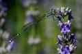 Wandering Ringtail (Austrolestes leda)