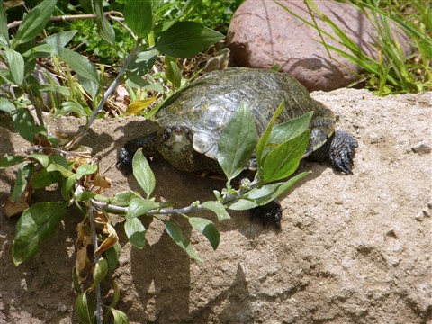 zs15_turtle