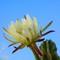 Cactus Flowers-12