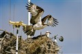 osprey nest in antenna