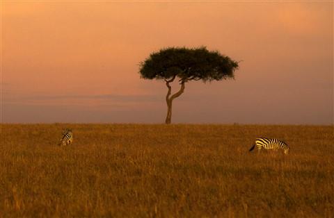 zebra-tree