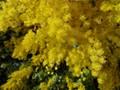 Acacia Tree in Full Bloom