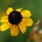 Brown eyed Susan raynox cr