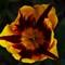Tulip_0297