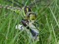 Southern Hawker (Aeshna cyanea) feeding on butterfly