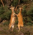 Red deers fighting