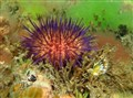 Sea urchin Port Phillip Bay