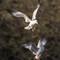 Ring-billed Gulls at Lake Olathe   004   03 18 17