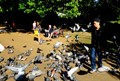The pigeons of St James's Park.