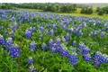 Texas bluebonnets in Washington County, Texas