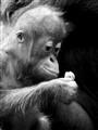 Zoo_YoungOrangUtangBW